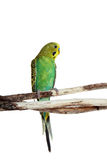 Budgie sitting on a branch stock photo