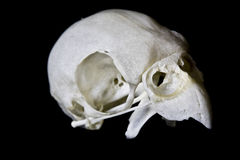 Budgie Skull on Black Background Stock Photography