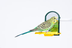 Budgie standing in front of the mirror Royalty Free Stock Photo