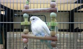 Budgie on a Swing Stock Image