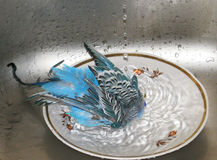 Budgie taking a bath. Royalty Free Stock Images