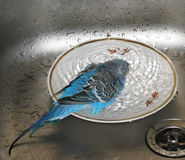 Budgie taking a bath Royalty Free Stock Image