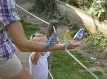 Budgie três multicolorido na mão de uma mulher os papagaios Imagens de Stock