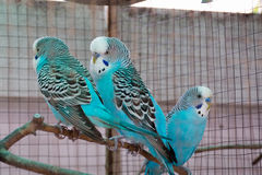 Budgie tree. Three bright blue Royalty Free Stock Images