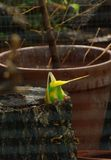 Budgie upside down digging hole for nest. Melopsittacus undulatus Royalty Free Stock Photos