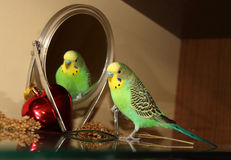Budgie verde intenso con lo specchio Fotografie Stock Libere da Diritti
