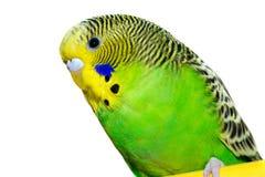 Budgie vert et jaune photographie stock libre de droits