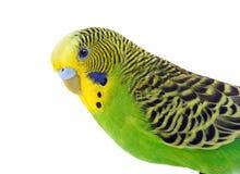 Budgie vert et jaune images stock