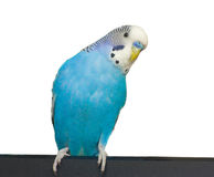 Budgie on a white background Stock Photo
