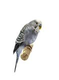 Budgie 4 years old on white Stock Image