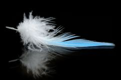 Budgierigar feather Royalty Free Stock Images