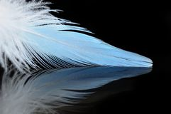 Budgierigar feather Stock Image