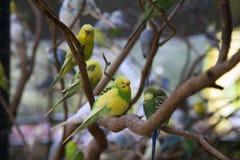 Budgies в дереве Стоковое фото RF
