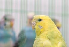 Budgies в клетке Стоковая Фотография RF