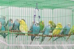Budgies в клетке Стоковое Фото