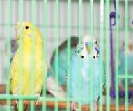 Budgies в клетке Стоковые Фотографии RF