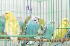 Budgies в клетке Стоковые Изображения RF