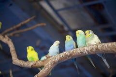 Budgies на ветви дерева стоковые фото