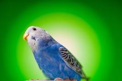 Budgies одного голубые попугая стоковое фото
