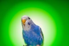 Budgies одного голубые попугая Стоковое Изображение RF
