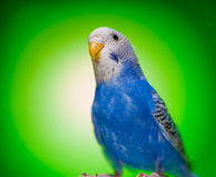 Budgies одного голубые попугая Стоковые Фотографии RF