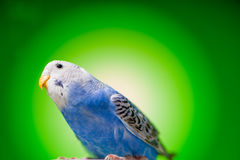 Budgies одного голубые попугая Стоковое фото RF