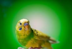 Budgies одного попугая стоковая фотография