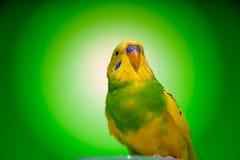 Budgies одного попугая Стоковые Фотографии RF