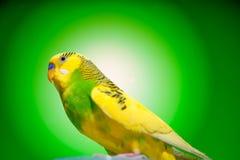 Budgies одного попугая Стоковое Изображение RF