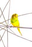 Budgies одного попугая Стоковые Изображения RF