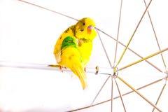 Budgies одного попугая Стоковая Фотография RF