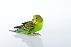 Budgies Stock Images
