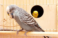 Budgies Stock Photography