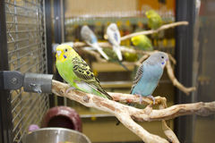 Budgies Stock Photos