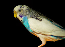 Budgies Royalty Free Stock Photo