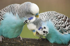 Budgies. Blue budgies grooming each others feathers Royalty Free Stock Photos