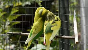 Budgies canoodling and preening stock video