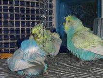 Budgies coloridos lindos que tienen una ducha imagenes de archivo