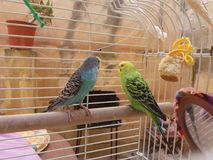 Budgies Royalty Free Stock Photography