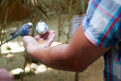 Budgies eat with your hands Royalty Free Stock Images