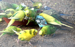Budgies feeding. Bunch of colorful budgies feeding stock images