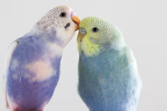 Budgies grooming. One budgie grooming another with its beak Royalty Free Stock Photos