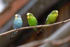 Budgies od Australia zdjęcie stock