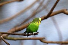 Budgies od Australia zdjęcie royalty free