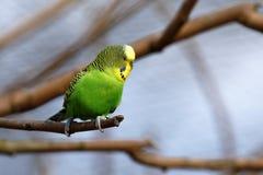 Budgies od Australia zdjęcia stock