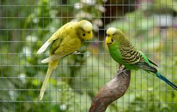 Budgies in and outdoor garden aviary Royalty Free Stock Photos