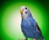 budgies papuga zdjęcie stock