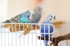Budgies or parakeets stock photography