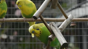 Budgies performing for the camera stock video