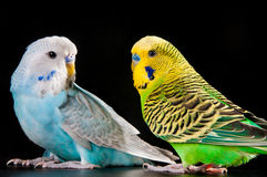 Budgies Royalty Free Stock Image